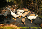4, 5 or 6 Indian runner duck hatching eggs (tested fertile 2019) Well Packed!