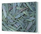 Canvas Print of Gumtree leaves (Eucalyptus sp.)